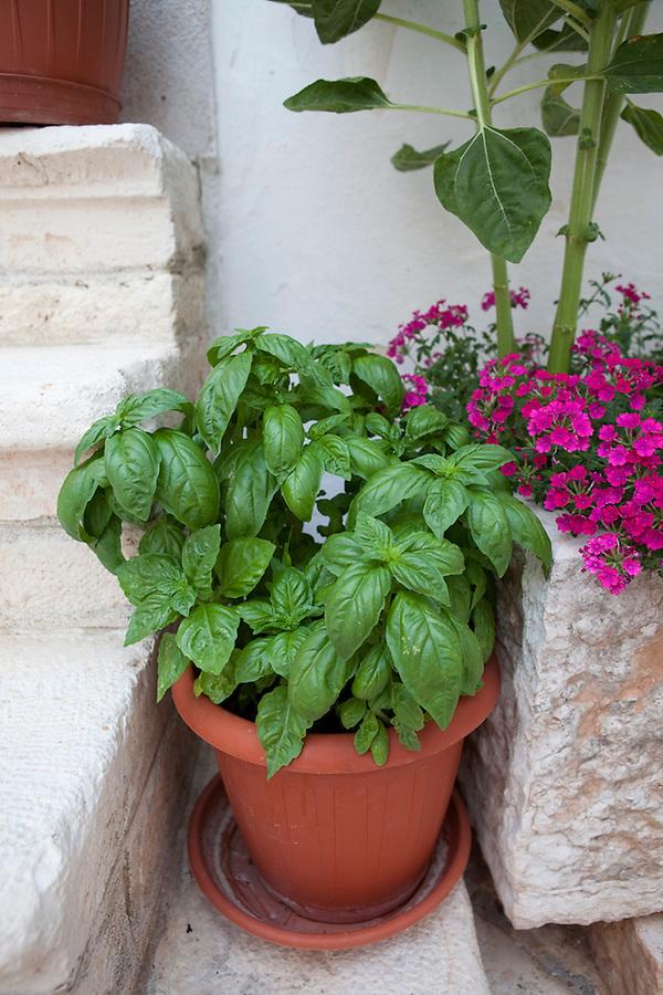 Basil plant, Puglia, Italy