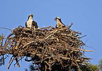 Osprey Pair in Nest  #B23