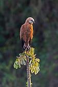 Black-collared Hawk (Busarellus nigricollis), Pantanal, Brazil.