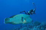 Fakarava Atoll, Tuamotu Archipelago, French Polynesia; a humpheaded wrasse swimming over the coral reef with an underwater photographer in the background