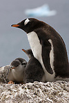 A Gentoo penguin with its chicks sitting at the nest at Brown Bluff, Antarctic Peninsula.
