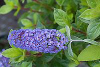 Buddleia aka Buddleja 'Asian Moon' sterile Butterfly bush. Originator Dr. Jon Linstrom of the University of Arkansas
