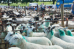 Priddy Sheep Fair Somerset Uk 2009. .
