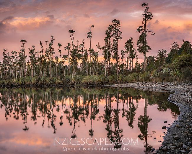 Kahikatea forest at sunset with reflections in Lake Wahapo, West Coast, Westland Tai Poutini National Park, UNESCO World Heritage Area, South Westland, New Zealand, NZ