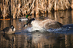 Canada Geese confrontation in a stream through a cattail marsh in Montana