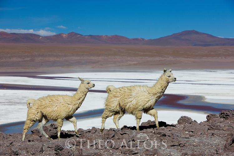 Bolivia, Altiplano, Llamas at Laguna Colorada