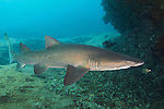 Sand tiger shark - Requin taureau (Carcharias taurus) South Africa.