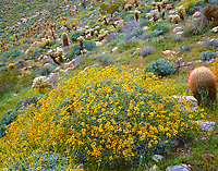 CADAB 120 -  Brittlebush (Encelia farinosa) blooms among barrel cactus and teddybear cholla, Mason Valley, Anza-Borrego Desert State Park, California, USA --- (4x5 inch original, File size: 6128x4800, 84.2mb uncompressed)