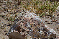 437800014 a wild southern desert horned lizard phrynosoma platyrhinos calidiarum suns on a large rock in mono county california