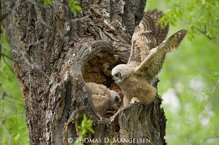 A great horned owlet perches on the edge of the nest in the heart-shaped hollow of a cottonwood tree in Grand Teton National Park, Wyoming, stretching its wings it preparation to fly.