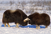 Bull Muskoxen butt heads on the tundra of Alaska's arctic coastal plains