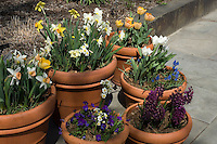Spring Bulbs in terracotta pots on patio, daffodils, narcissus, tulips, grape hyacinths, muscari, hyacinthus, hyacinths, viola violete, in yellow, white, orange, peach, blue, purple, varying heights and types