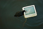 Coot trying to climb onto discarded television in a central Amsterdam canal