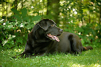 19 June 2010:  Profile outdoor portrait of chocolate labrador sitting in grass.