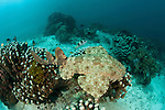 Tasselled wobbegong (Eucrossorhinus dasypogon). North Raja Ampat, West Papua, Indonesia