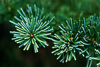 Spruce needles in the mountains of Olympic.  <br /> In 1909, just before leaving office, President Theodore Roosevelt issued a proclamation creating Mount Olympus National Monument within the national forest. <br /> President Franklin D. Roosevelt's governmental reorganization in 1933 and with the support of national conservation organizations, Washington Congressman Monrad C. Wallgren in 1935 sponsored a bill for the establishment of a national park. After a visit to the Olympic Peninsula in the fall of 1937, President Roosevelt added his enthusiastic support to the movement for a national park, and the act establishing Olympic National Park was signed on June 29, 1938.