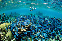 Snorkelers at Buck Island National Monument <br /> With schooling blue tangs<br /> St Croix, U.S. Virgin Islands