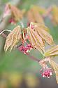 Japanese maple (Acer palmatum 'Osakazuki'), new foliage and flowers, early April.