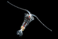 Zooplankton Copepod (Gaussia princeps) female.
