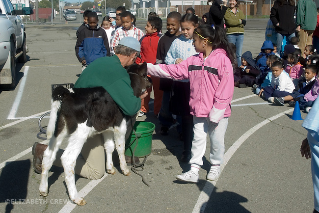Oakland CA Representative of dairy association introducing innercity elementary school students to a calf