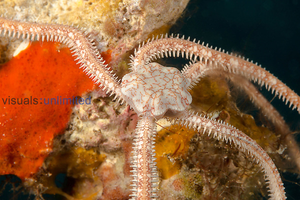 Long-arm Brittle Star (Ophionereis porrecta), Hawaii, USA.
