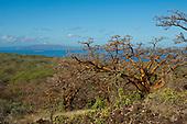 Endemic wiliwili trees on Maui, with Molokini and Kaho'olawe in the distance.