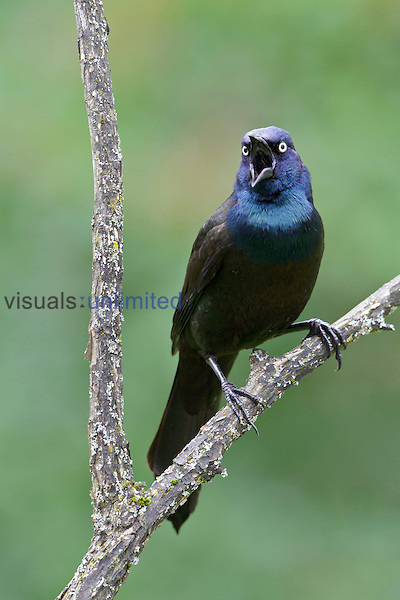 Common Grackle, Ontario, Canada.