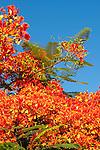 Puerto Ayora, Santa Cruz Island, Galapagos, Ecuador; flowering Flamboyant trees along the road in the El Eden section of Puerto Ayora , Copyright © Matthew Meier, matthewmeierphoto.com All Rights Reserved