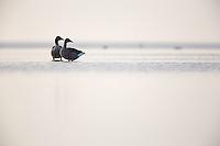 Greylag Goose (Anser anser), Ijsselmeer, The Netherlands
