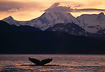 The lingering light of sunset reflects in the icy waters of Glacier Bay, providing enough light to reveal the fluke of a diving humpback whale, perhaps a living testimony of Alaska's true wilderness.