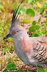 Crested Pigeon, Ocyphaps lophotes