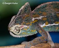 CH49-509z  Male Veiled Chameleon eating juvenile Veiled Chameleon, Chamaeleo calyptratus