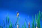 Common Yellowthroat on a cattail stem in a marsh in Montana