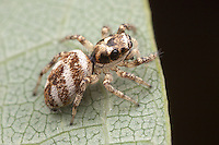 Zebra Jumper (Salticus scenicus) - Female, West Harrison, Westchester County, New York