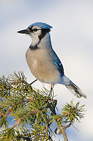 Blue Jay perched on the branch of a pine tree