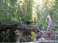 Biberdamm, Kinder gehen über Damm, Biber hat mit Ästen und Zweigen einen Bach aufgestaut, Damm, Europäischer Biber, Castor fiber, European beaver, Castor d´Europe