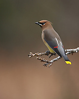 "The name ""waxwing"" comes from the waxy red secretions found on the tips of the secondaries of some birds. The exact function of these tips is not known, but they may help attract mates."