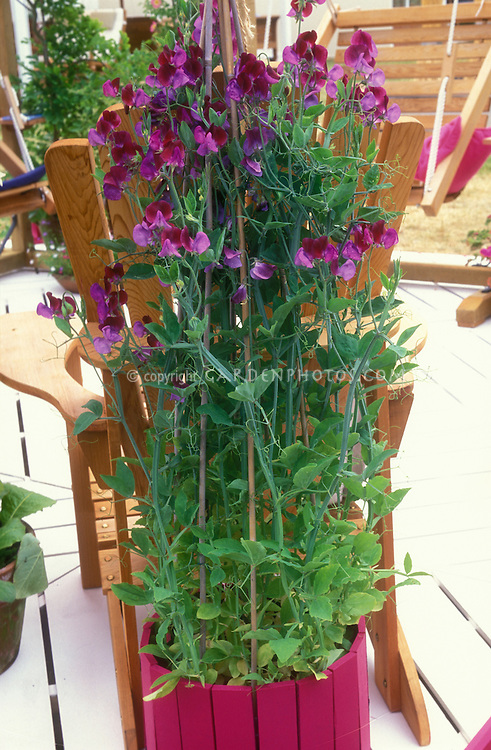 Lathyrus odoratus 'Cupani' aka Matucana (Sweet Peas) in matching container on deck, fragrant flowering annual vine