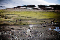 Deception Island, Antarctica, Jan. 5, 2007 - A colony of chinstrap penguins, numbering somewhere around 80,000 at Baliey Head on Deception Island. As the waters around Antarctica have warmed, these warm climate penguins have increased in population over the cold climate species. Antarctica is home to five of the world's 17 different species of penguins. Though climate reports suggest that the continent is not warming substantially as a result of global warming, the ocean around it is. In fact the temperature of the Southern Ocean has risen 11 degrees since the 1950's. This has caused a problem for the cold water species of penguin, such as the Emperor and Adelie. They have had to move further south to survive, while warmer climate species, such as Gentoo and Chinstrap have expanded their sizes. While this would seem good news for the Gentoo and Chinstrap, the warming of the waters has caused larger melting of icebergs than previously expected. The flow of fresh water with the salt water under the icebergs are the breeding ground for krill, the primary food for penguins. The increased number of the colonies along with the decrease in food has caused major problems for all of the species. .