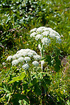 California wildflower travel: Cow parsnip at Point Reyes.Photo copyright Lee Foster.  Photo # cawild102451