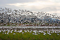 WA08133-00...WASHINGTON - A large of snow geese in a farm field on Fir Island in the Skagit River Delta.