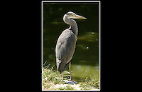 Grey Heron (Ardea cinerea) - Zoological Society of London - 15th June 2003