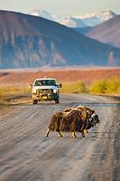 Vehicle approaches as Muskox cross the James Dalton Highway, Brooks range, arctic, Alaska.