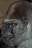 Eastern Lowland Gorilla (Gorilla gorilla graueri), head close-up of a male. Captivity.