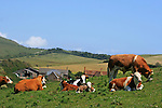 Compton farm on the south west coast of the isle of wight, could there be a better place to be a cow?