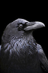Profile of a Raven with a black background, California. (composite)