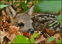BNPS.co.uk (01202 558833)<br /> Pic: AdamTatlow/BNPS<br /> <br /> Fawn shelters in the undergrowth.<br /> <br /> Cotswold gamekeeper shoots amazing pictures of British wildlife - without the aid of long lenses and elaborate techniques.<br /> <br /> The incredible photos may look like they have been shot from miles away - but amazingly Adam Tatlow is actually just feet away from his wild subjects.<br /> <br /> The 46-year-old's affinity with nature has allowed him to get up close and personal with some of the UK's most endearing wildlife.<br /> <br /> Adam's trusty camera is never far from his side as he goes about his work as a gamekeeper on an estate in the Cotswolds countryside.<br /> <br /> He has built up a stunning portfolio of snaps that lift the lid on rarely-seen birds and animals found in forests throughout the country.<br /> <br /> Adam's subjects have included timid fox cubs, bounding hares, inquisitive hedgehogs and colourful kingfishers.<br /> <br /> He is so at one with nature that he knows how to call animals to him, and often gets within 30ft of them.