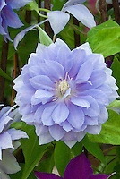 Clematis Mrs P.T. James double flowered sky blue perennial flowers, climbing vine, changes to single flowered later in season