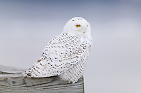 A Snowy Owl (Nyctea scandiaca) perches on the end of Piermont Pier on the Hudson River near Piermont, New York