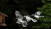 Blue Jay, Cyanocitta cristata, captured in flight with a sequential strobe.